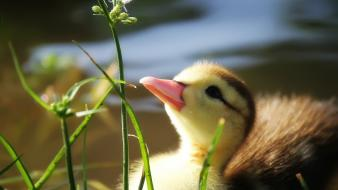 Birds ducks plants baby Wallpaper
