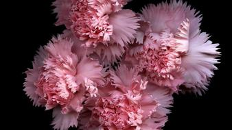 Flowers black background pink carnations Wallpaper