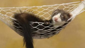 Hammock ferret wallpaper