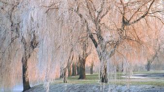 Ice nature trees willow covered wallpaper