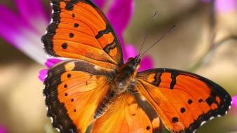 Insects commodore butterflies wallpaper