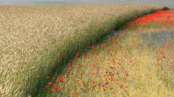 Landscapes nature flowers fields corn poppies wallpaper