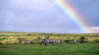 Landscapes rainbows zebras skyscapes wallpaper