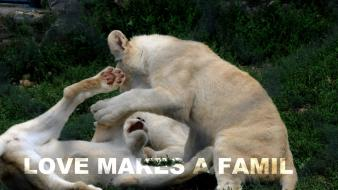Love family animals quotes lions playing Wallpaper