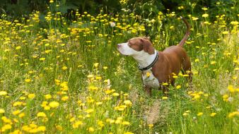 Nature animals dogs yellow flowers pit bull wallpaper
