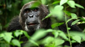 Nature animals leaves brown eyes apes chimpanzee wallpaper