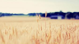 Nature fields wheat wallpaper