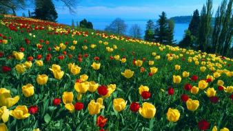Nature flowers tulips meadows wallpaper