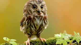 Owls big eyes wallpaper
