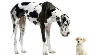 Puppies white background great dane labradors baby wallpaper