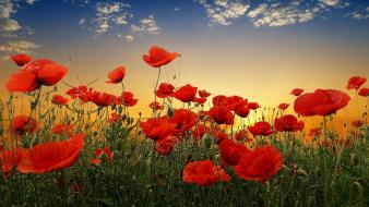 Sunset nature flowers poppy wallpaper