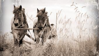 Wheat horses farm wallpaper
