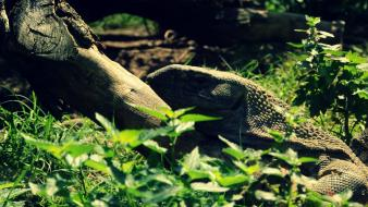 Wood animals grass camouflage iguana Wallpaper