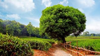 Abstract nature trees tea balloons plantation wallpaper