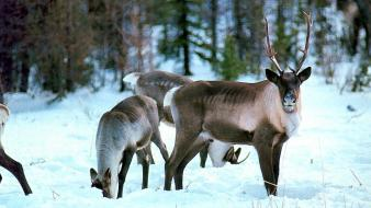 Animals deer canadian wallpaper