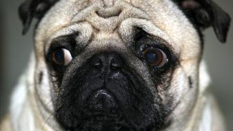 Animals dogs pugs wallpaper