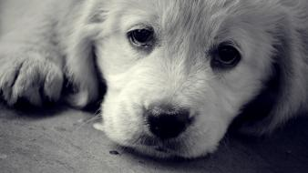Animals dogs sad eyes wallpaper