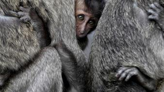 Animals national geographic monkeys baby wallpaper