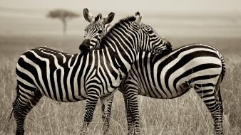Animals national geographic zebras monochrome wallpaper