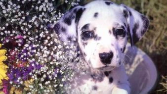 Dogs puppies dalmatians baby animals wallpaper