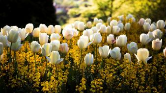 Flowers tulips white wallpaper