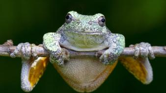 Hanging frogs amphibians wallpaper
