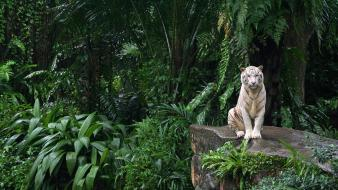 Jungle animals tigers white tiger plants ferns Wallpaper