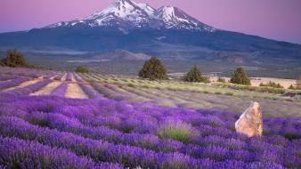 Landscapes california lavender mount shasta farm wallpaper