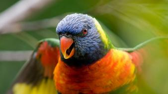 Nature birds parrots rainbow lorikeet wallpaper