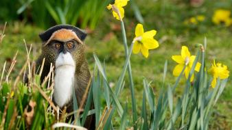 Nature flowers animals monkeys daffodils yellow Wallpaper