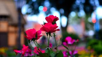 Nature flowers epcot macro roses Wallpaper