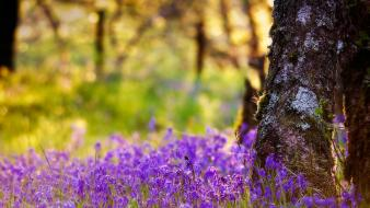 Nature trees flowers scotland purple blurred background bluebells wallpaper