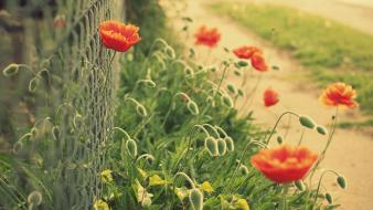 Of field chain link fence red poppies wallpaper