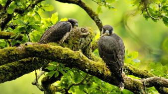 Trees moss falcon bird branches birds wallpaper