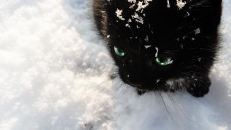 Black and white winter snow cats cat wallpaper
