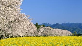 Blossoms flowers spring (season) yellow flowered trees wallpaper