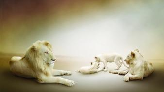Cats animals pride cubs lions baby wallpaper