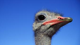 Close-up ostrich blue skies birds wallpaper