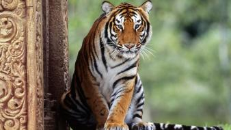 Eyes forest animals tigers india wallpaper