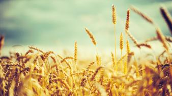 Fields wheat crops wallpaper