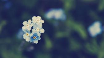 Flowers forget-me-nots depth of field myosotis wallpaper