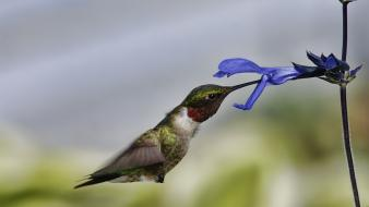 Flowers hummingbirds birds wallpaper