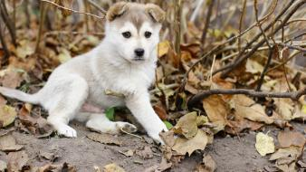 Gray dogs puppies husky mammals baby fallen wallpaper