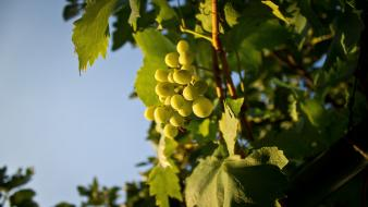 Green nature grapes fruit trees wallpaper