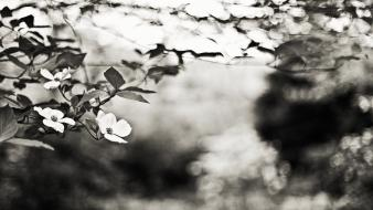 Nature flowers leaves grayscale bokeh depth of field wallpaper