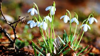 Nature flowers snowdrops Wallpaper