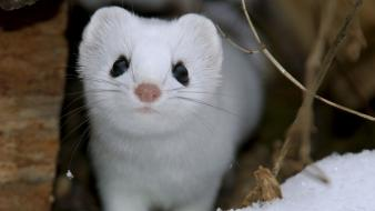Nature snow animals national geographic weasels wallpaper