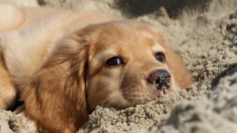Sand animals dogs puppies golden retriever wallpaper