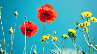 Shot yellow flowers red poppies blue skies wallpaper