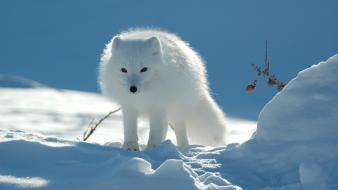 Snow animals arctic fox foxes Wallpaper